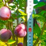 Колоновидная слива: особенности выращивания и ухода